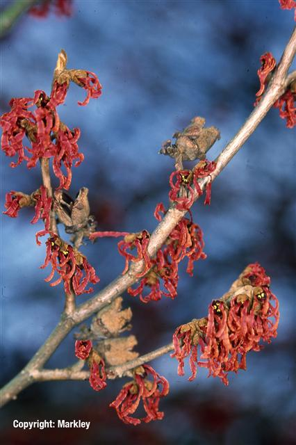 Hamamelis intermedia 'Ruby Glow'