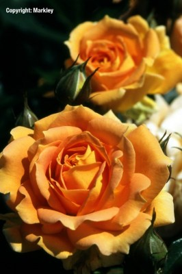 Rosa 'Goldelse' -R-