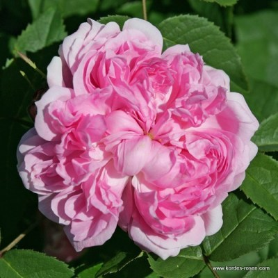 Rosa damascena 'Jacques Cartier'