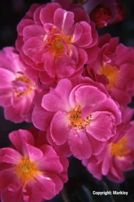 Rosa 'Magic Meidiland' -R-