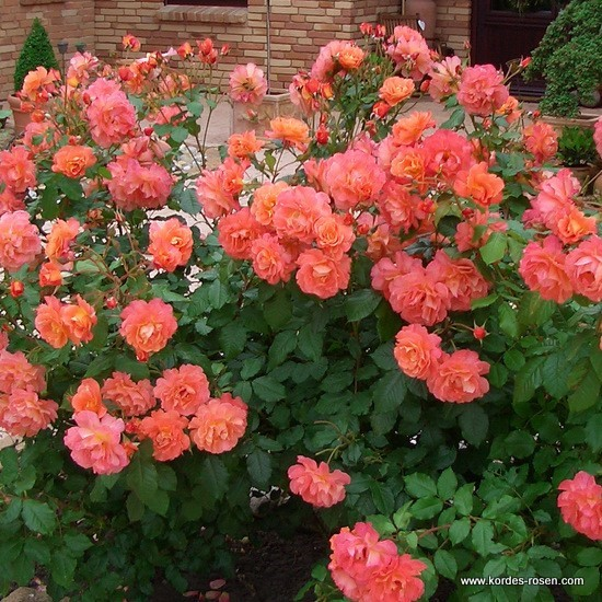 Rosa 'Westerland' -R-